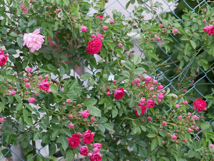 キングローズ(ツルバラ)の花がたくさん咲いた。2019年-10.jpg