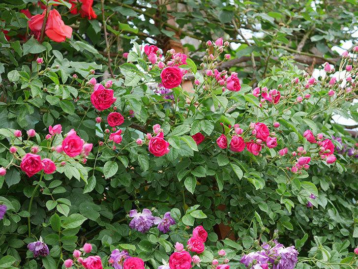 キングローズ(ツルバラ)の花がたくさん咲いた。2019年-11.jpg