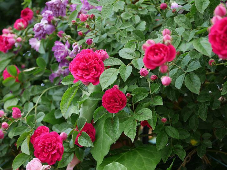 キングローズ(ツルバラ)の花がたくさん咲いた。2019年-12.jpg