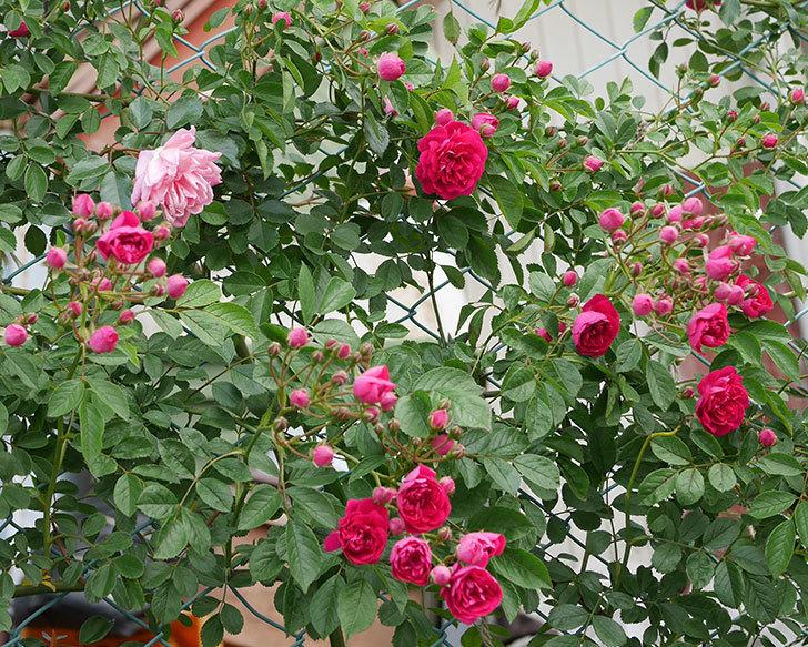 キングローズ(ツルバラ)の花がたくさん咲いた。2019年-16.jpg
