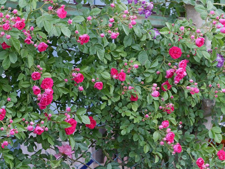キングローズ(ツルバラ)の花がたくさん咲いた。2019年-2.jpg