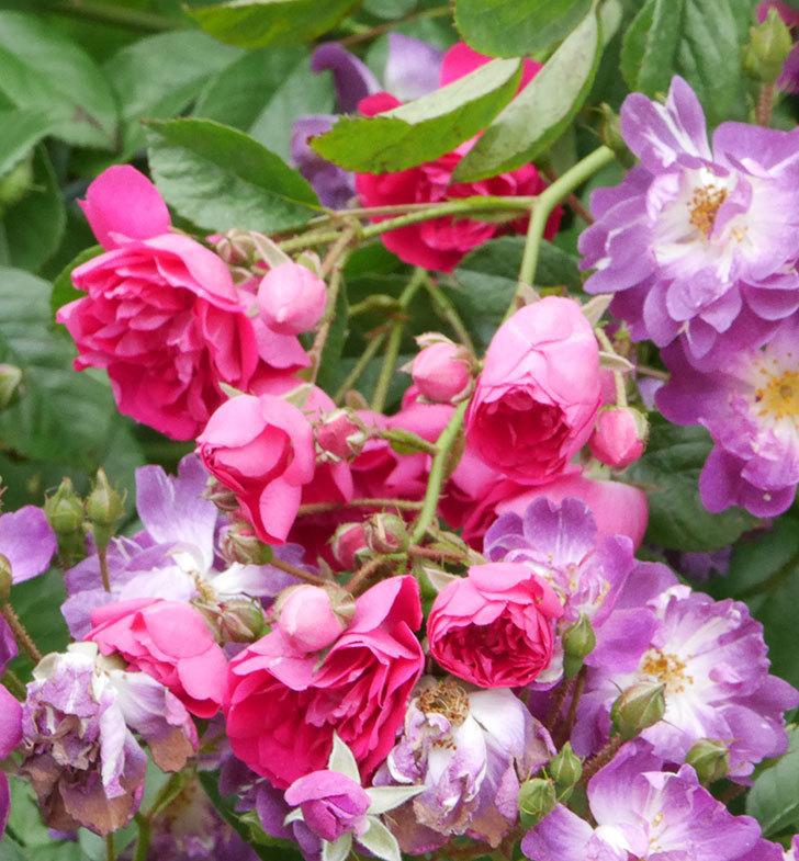 キングローズ(ツルバラ)の花がたくさん咲いた。2019年-4.jpg