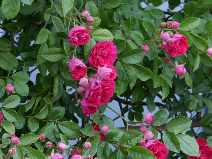 キングローズ(ツルバラ)の花がたくさん咲いた。2019年-7.jpg