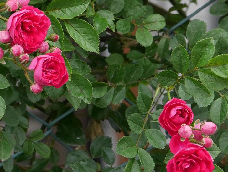 キングローズ(ツルバラ)の花がたくさん咲いた。2019年-9.jpg