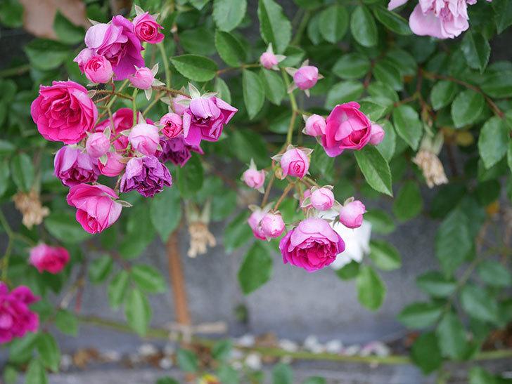 キングローズ(ツルバラ)の花がたくさん咲いた。2020年-1001.jpg