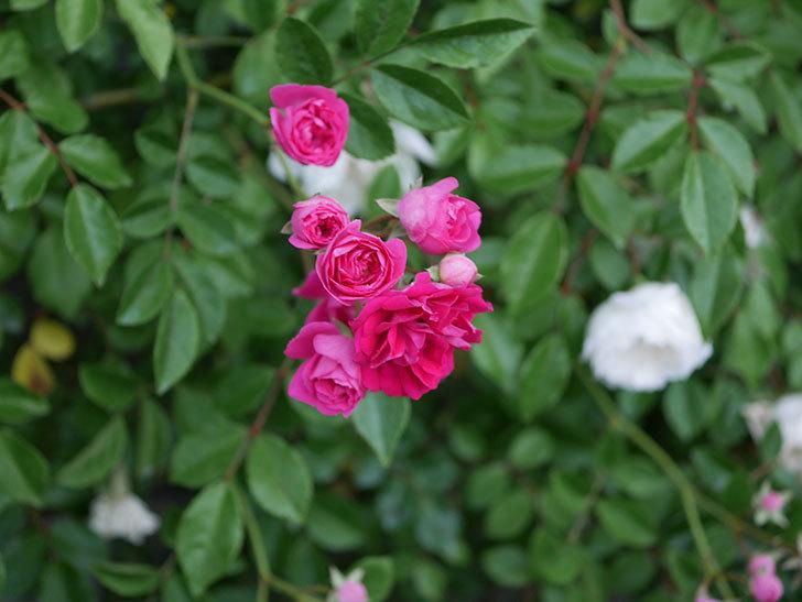 キングローズ(ツルバラ)の花がたくさん咲いた。2020年-1002.jpg