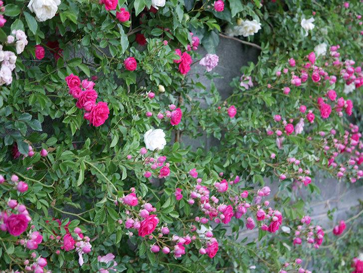 キングローズ(ツルバラ)の花がたくさん咲いた。2020年-1004.jpg