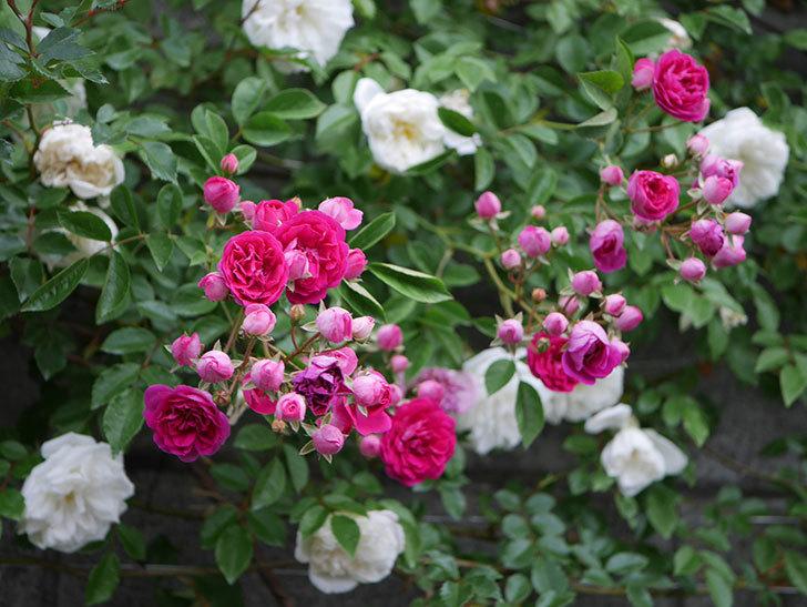 キングローズ(ツルバラ)の花がたくさん咲いた。2020年-1005.jpg