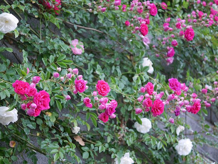 キングローズ(ツルバラ)の花がたくさん咲いた。2020年-1006.jpg