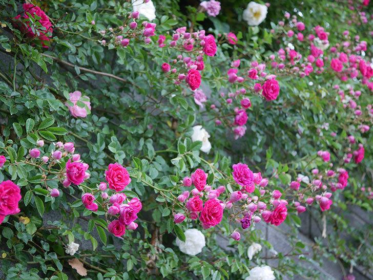 キングローズ(ツルバラ)の花がたくさん咲いた。2020年-1007.jpg