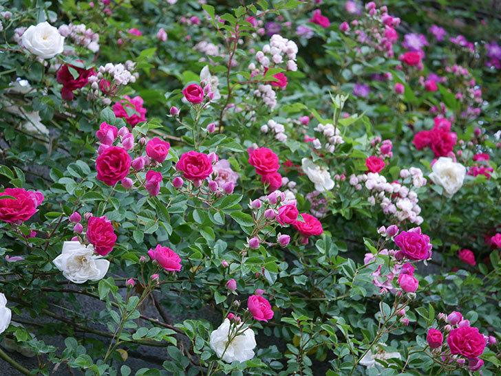 キングローズ(ツルバラ)の花がたくさん咲いた。2020年-1008.jpg