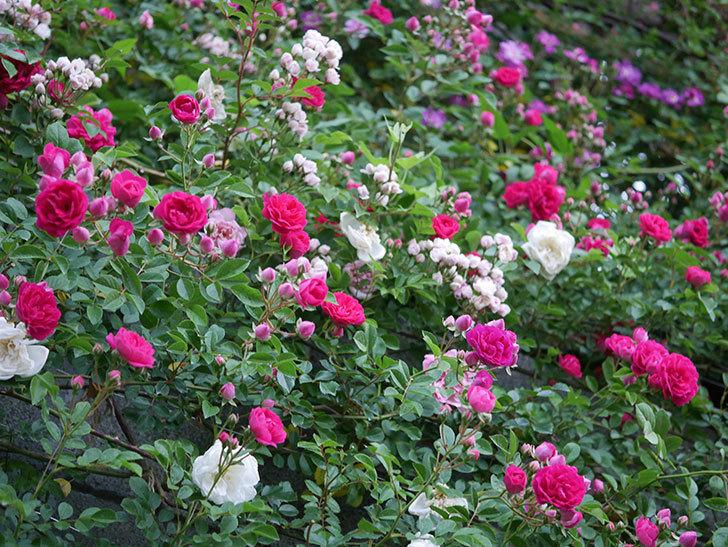 キングローズ(ツルバラ)の花がたくさん咲いた。2020年-1009.jpg
