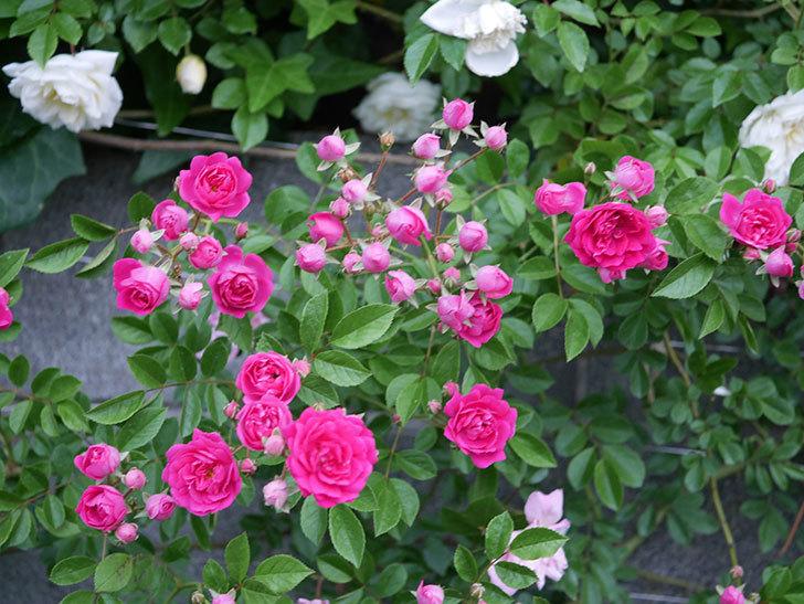 キングローズ(ツルバラ)の花がたくさん咲いた。2020年-1010.jpg