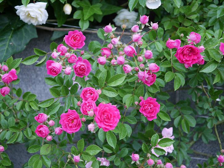 キングローズ(ツルバラ)の花がたくさん咲いた。2020年-1011.jpg