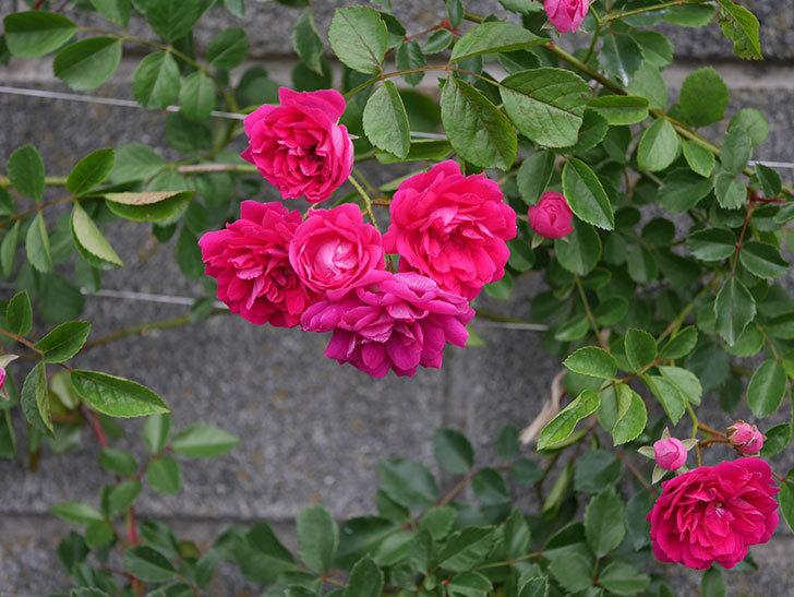 キングローズ(ツルバラ)の花がたくさん咲いた。2020年-1012.jpg