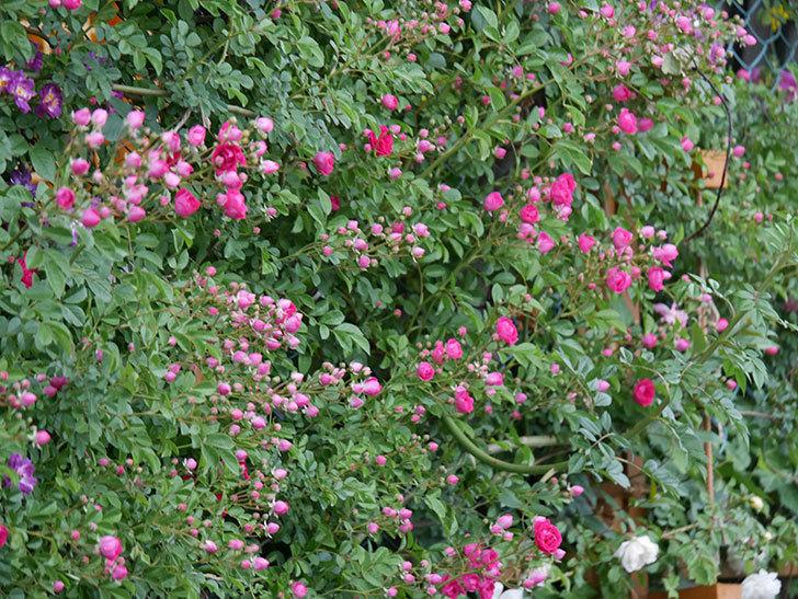 キングローズ(ツルバラ)の花がたくさん咲いた。2020年-1016.jpg