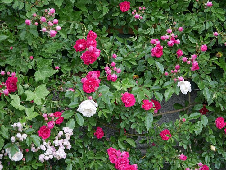 キングローズ(ツルバラ)の花がたくさん咲いた。2020年-1017.jpg