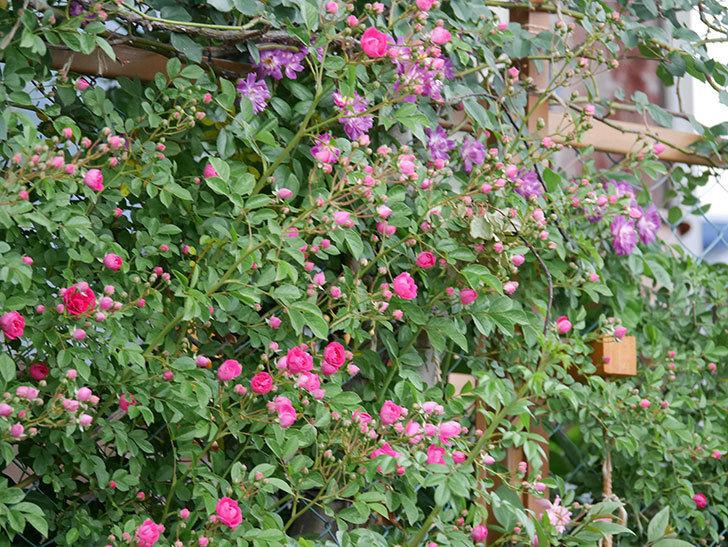 キングローズ(ツルバラ)の花がたくさん咲いた。2020年-1019.jpg