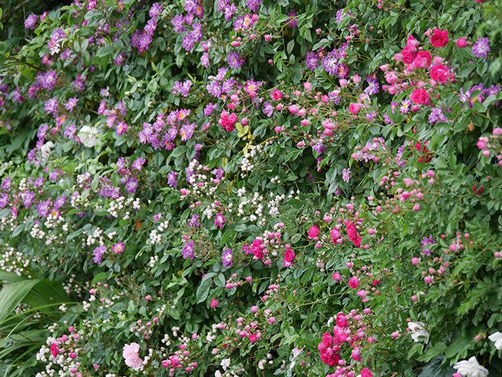 キングローズ(ツルバラ)の花がたくさん咲いた。2020年-1020.jpg