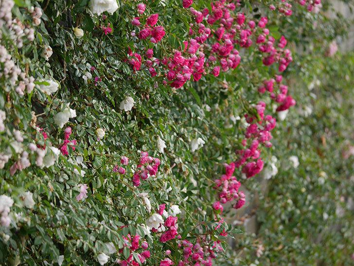 キングローズ(ツルバラ)の花がたくさん咲いた。2020年-1021.jpg