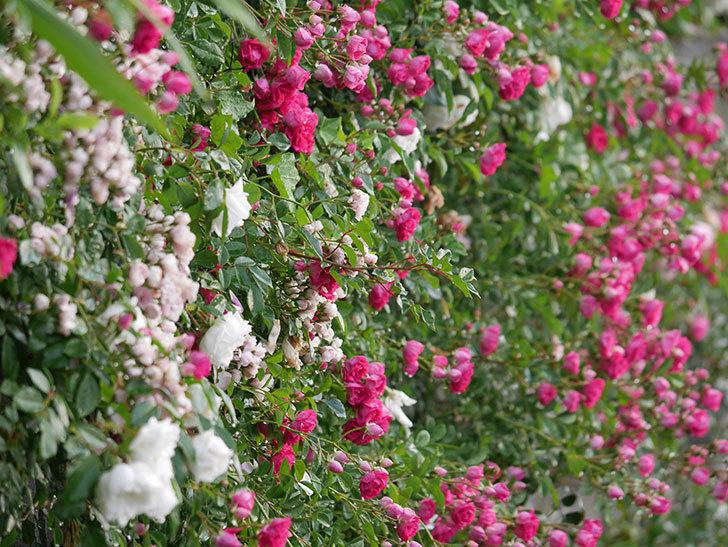 キングローズ(ツルバラ)の花がたくさん咲いた。2020年-1022.jpg