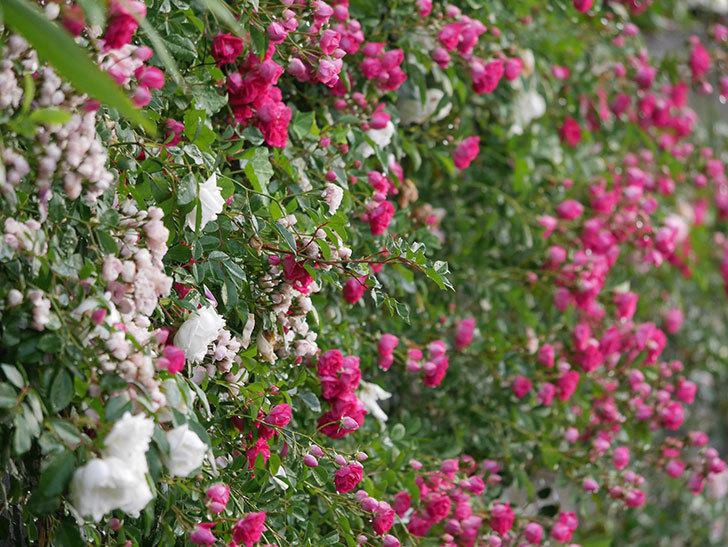 キングローズ(ツルバラ)の花がたくさん咲いた。2020年-1023.jpg