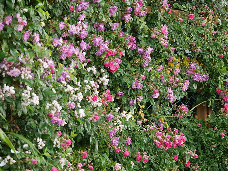 キングローズ(ツルバラ)の花がたくさん咲いた。2020年-1025.jpg
