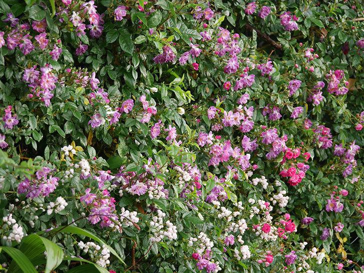 キングローズ(ツルバラ)の花がたくさん咲いた。2020年-1026.jpg