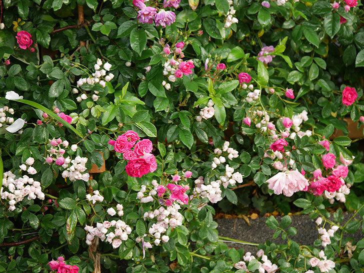 キングローズ(ツルバラ)の花がたくさん咲いた。2020年-1027.jpg