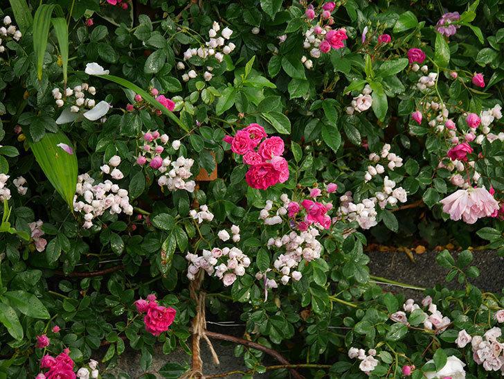 キングローズ(ツルバラ)の花がたくさん咲いた。2020年-1028.jpg