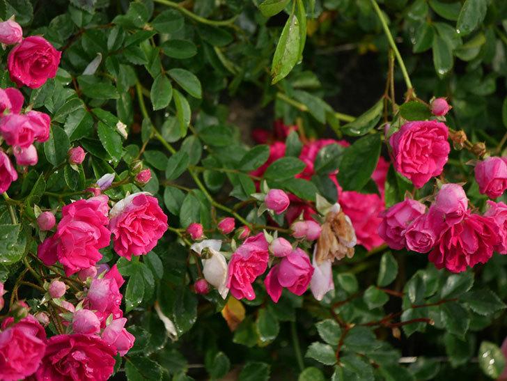 キングローズ(ツルバラ)の花がたくさん咲いた。2020年-1029.jpg