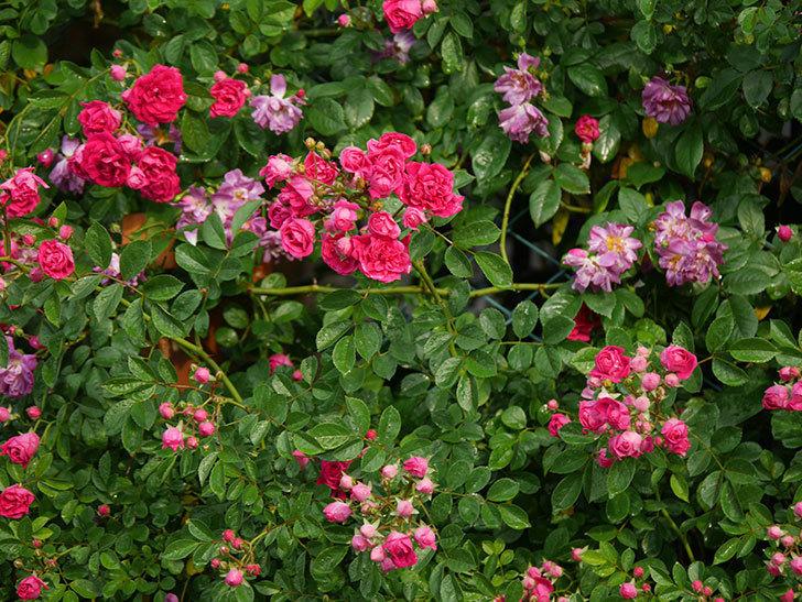 キングローズ(ツルバラ)の花がたくさん咲いた。2020年-1031.jpg