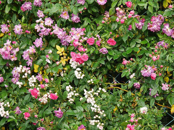 キングローズ(ツルバラ)の花がたくさん咲いた。2020年-1032.jpg