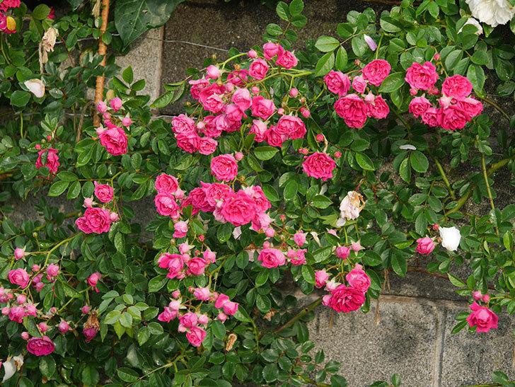 キングローズ(ツルバラ)の花がたくさん咲いた。2020年-1033.jpg