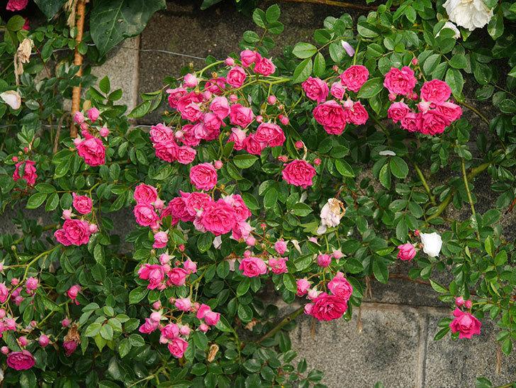 キングローズ(ツルバラ)の花がたくさん咲いた。2020年-1034.jpg