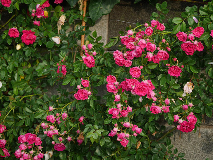 キングローズ(ツルバラ)の花がたくさん咲いた。2020年-1035.jpg