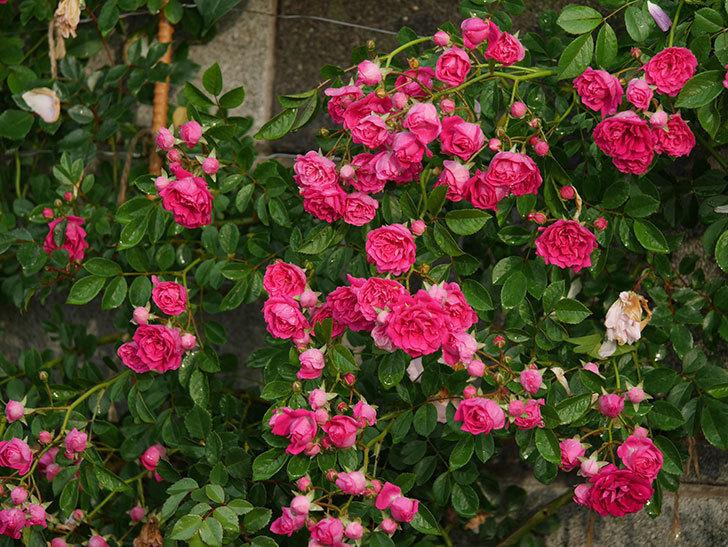 キングローズ(ツルバラ)の花がたくさん咲いた。2020年-1036.jpg