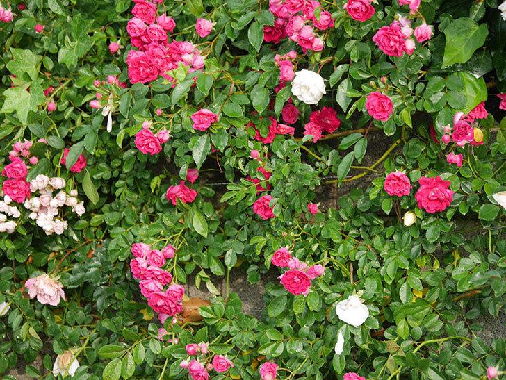 キングローズ(ツルバラ)の花がたくさん咲いた。2020年-1037.jpg