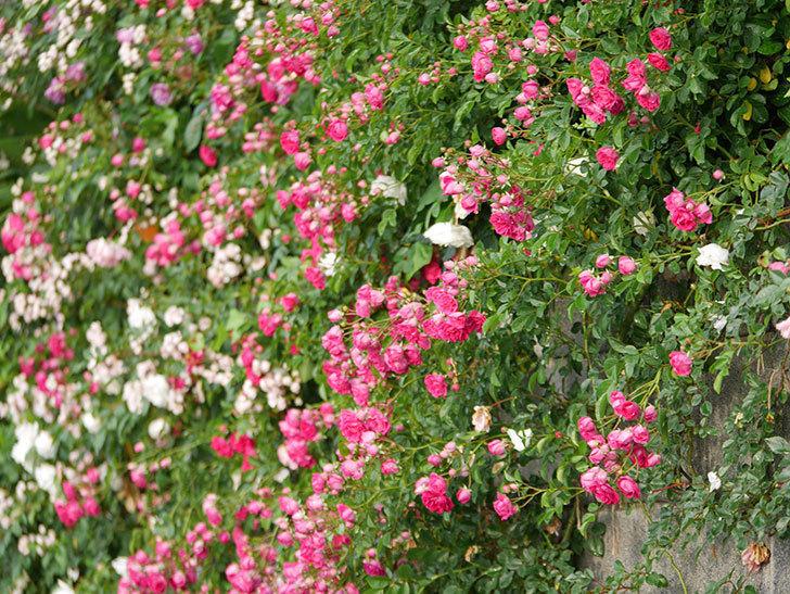 キングローズ(ツルバラ)の花がたくさん咲いた。2020年-1038.jpg