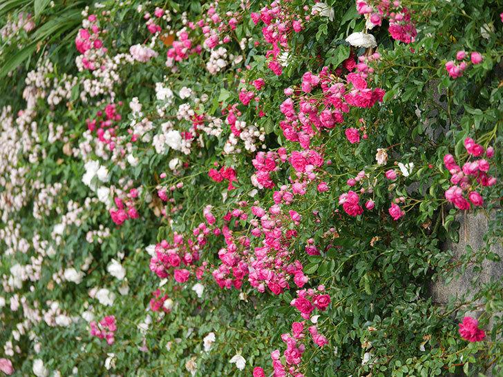 キングローズ(ツルバラ)の花がたくさん咲いた。2020年-1039.jpg