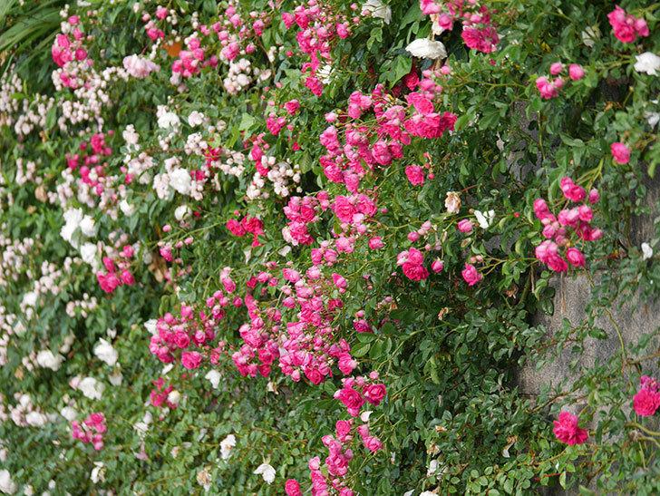 キングローズ(ツルバラ)の花がたくさん咲いた。2020年-1040.jpg