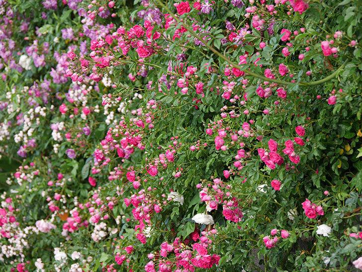 キングローズ(ツルバラ)の花がたくさん咲いた。2020年-1041.jpg