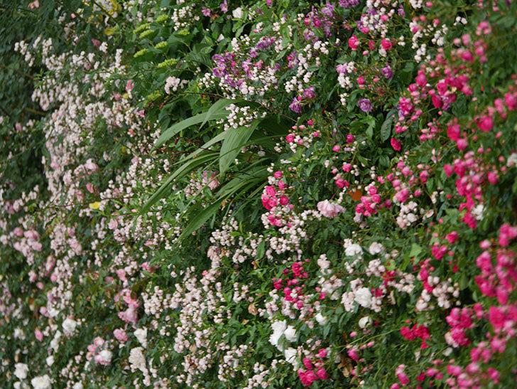 キングローズ(ツルバラ)の花がたくさん咲いた。2020年-1043.jpg