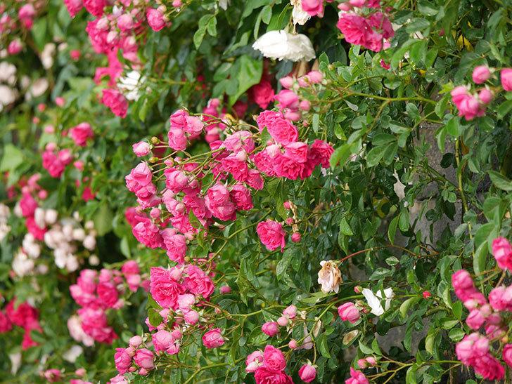 キングローズ(ツルバラ)の花がたくさん咲いた。2020年-1044.jpg