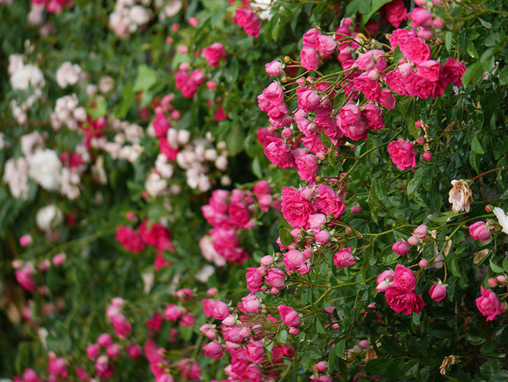 キングローズ(ツルバラ)の花がたくさん咲いた。2020年-1045.jpg