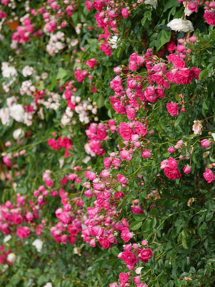キングローズ(ツルバラ)の花がたくさん咲いた。2020年-1046.jpg