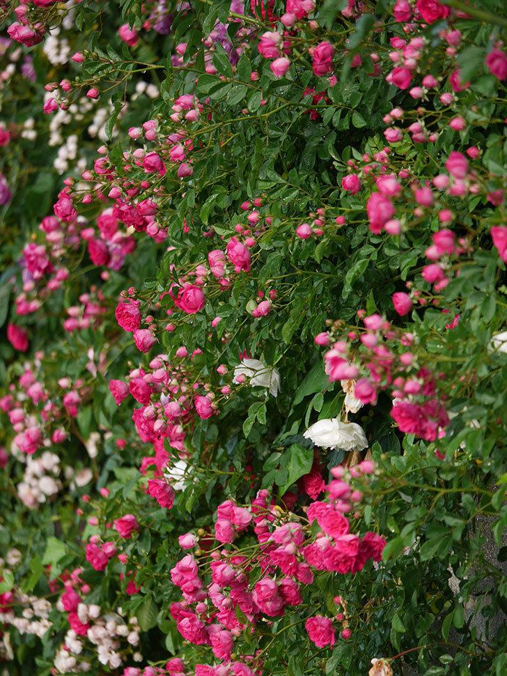 キングローズ(ツルバラ)の花がたくさん咲いた。2020年-1048.jpg
