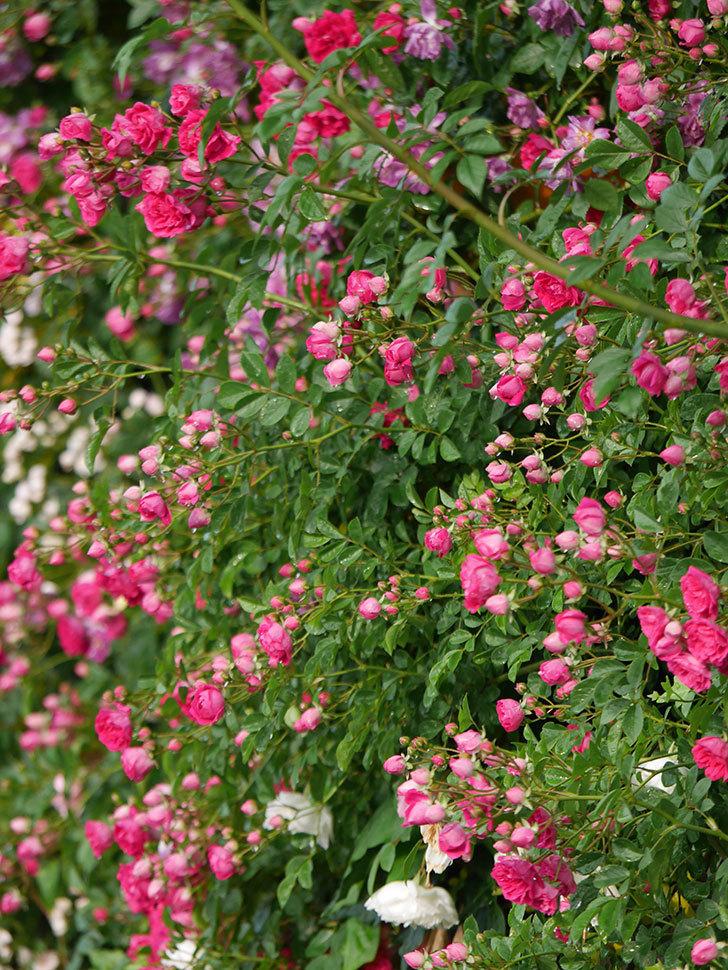 キングローズ(ツルバラ)の花がたくさん咲いた。2020年-1049.jpg