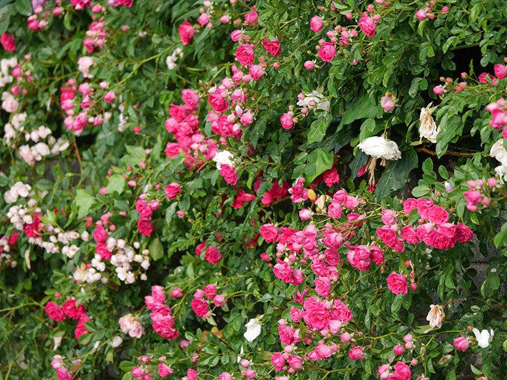 キングローズ(ツルバラ)の花がたくさん咲いた。2020年-1050.jpg