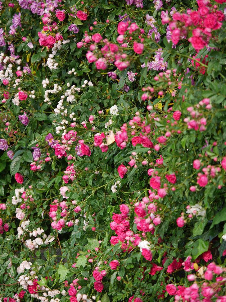 キングローズ(ツルバラ)の花がたくさん咲いた。2020年-1051.jpg